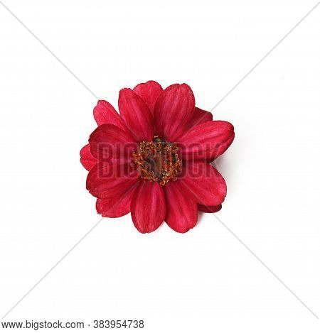 Red Flower Isolate. Red Zinnias On A White Background.