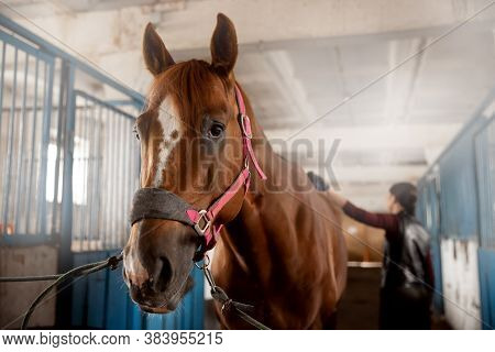 Woman Grooming Brushes Horse Out And Prepares After Ride In Stall
