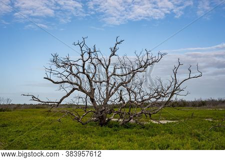Gnarly Bare Tree Sits In Pickleweed Field In Everglades Coastal Prairie