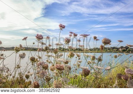 Flowers Of The Plant Wild Carrot, Daucus Carota, In The Background Of The Image The Pond Of The Slat