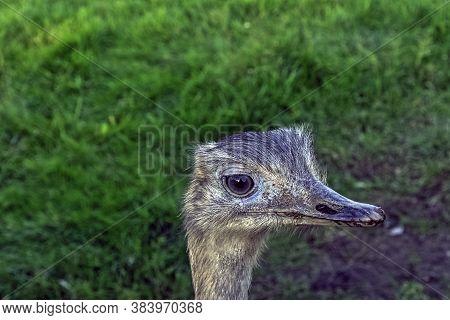 Rhea Known As Nandu - South American Ostrich