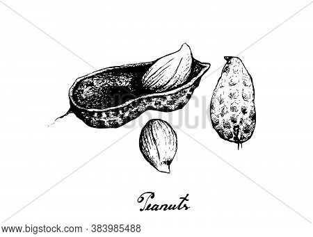 Illustration Of Hand Drawn Sketch Fresh Peanuts Or Groundnut With Groundnut Plants With Groundnuts A