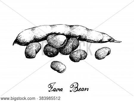 Vegetable, Illustration Of Hand Drawn Sketch Fresh Fava Bean Or Broad Beans On Tree Isolated On Whit