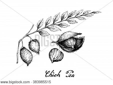 Illustration Of Hand Drawn Sketch Garbanzo Beans Or Chick Pea, A Good Source Of Dietary Fiber, Vitam