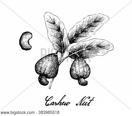 Illustration Of Hand Drawn Sketch Fresh Cashew Nut On A Branch With Roasted Cashew Nuts, Good Source
