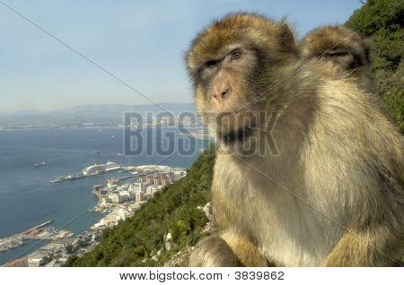 Monkeys sitting together at the Gibraltar rock poster