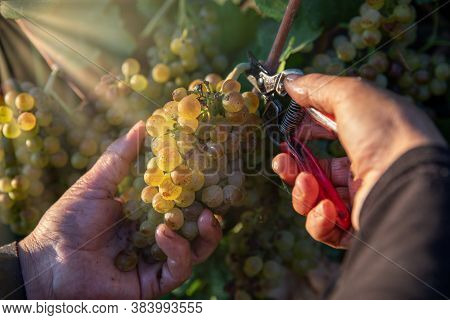 Farmer Hands Picking Green Wine Grapes During Harvest. Grapes In The Vineyard.