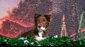 Holiday portrait of a Red Border Collie poster