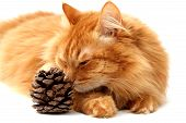 ginger cat with a fir-cone shot isolated on white background poster