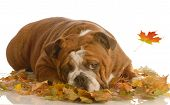 english bulldog laying in colorful autumn leaves poster