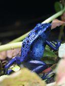 Blue Poison Dart Frog - close-up image poster