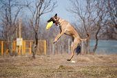 happy Malinois Shepherdshepherd catching disc in jump poster