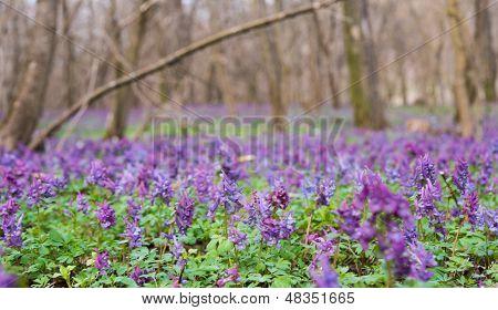 Purple Flower Of Hollowroot