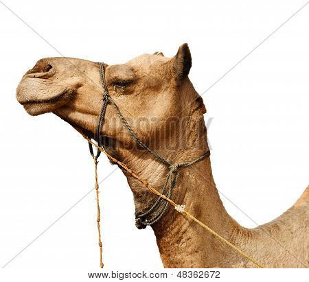 Young Camel Isolated On White Background
