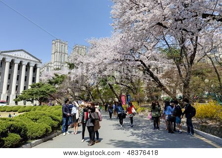 SEOUL, KOREA-APRIL 18: Students are walking and taking pictures at the campus street which is lined with cherry trees of full blossoms in Kyung Hee University on April 18, 2013 in Seoul, Korea.