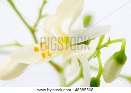 flowers of Moringa on the white blackground