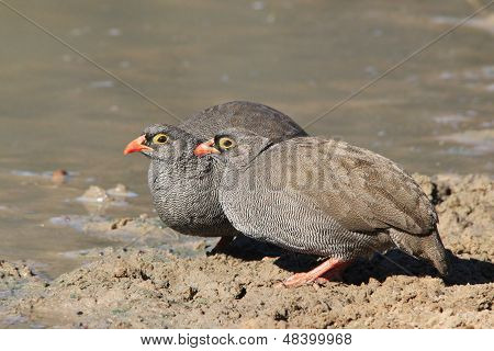 Red Billed Francolin - Wild Bird Background from Africa - Together is always Best