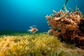 coral ocean and lionfish taken in the red sea. poster