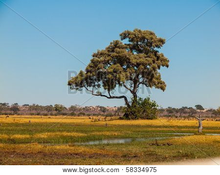 Lonesome Tree In Savuti Marshes