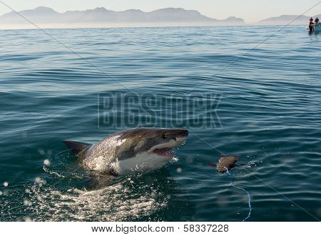 poster of Great White Shark (Carcharodon carcharias) attack .