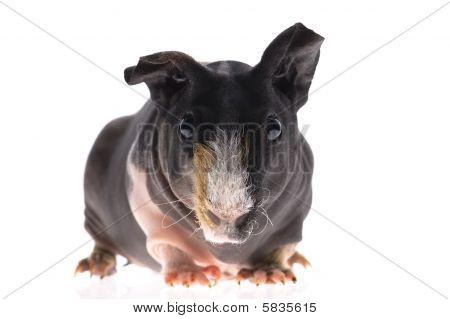 skinny guinea pig on white background. mammal poster