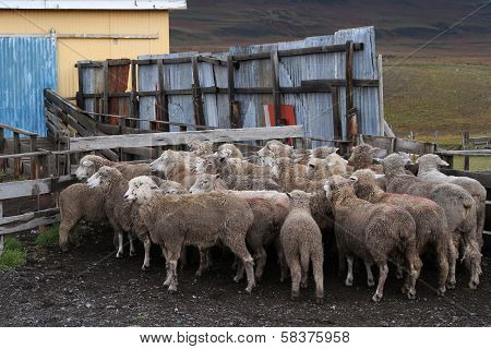 Sheep Of A Chilean Estancia