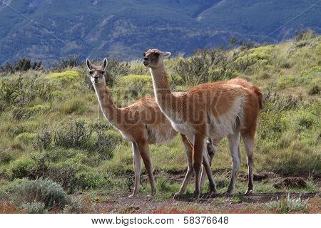 Two Guanacos in Torres Del Paine national park poster