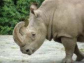 White threatening rhinoceros with a curve horn poster
