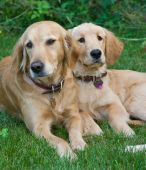 A family of golden retrievers standing outside poster