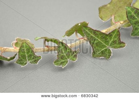 Detailed But Simple Image Of Iced Ivy