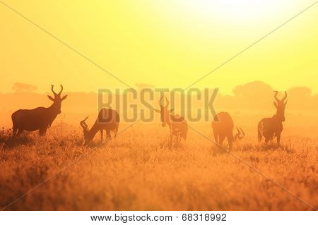 Red Hartebeest - African Wildlife Background - Sunset Wonder and Beautiful Color