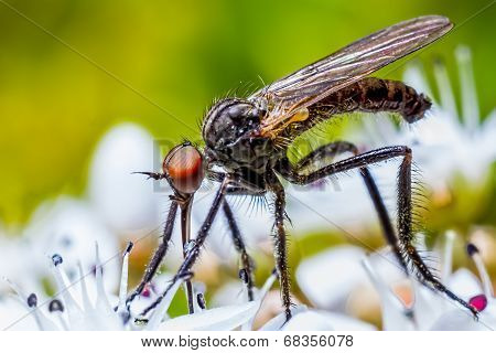 Macro Of Fly Empis Feeding On A White Flower