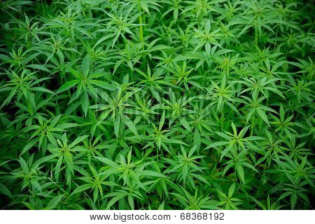 Young cannabis plants, marijuana, close-up.