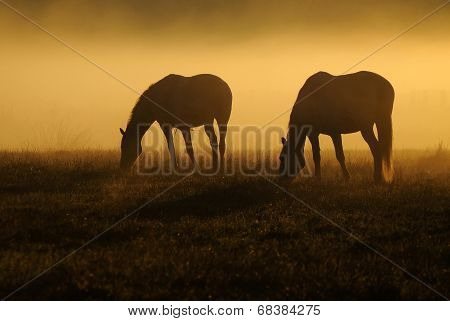Two horses graze on a field on a background of fog and sunrise poster