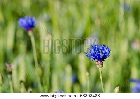 Dew Water Drops On Cornflower Bluet Flower Bloom
