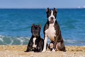 Beautiful pair of pit bull breed dogs sitting together on the beach poster