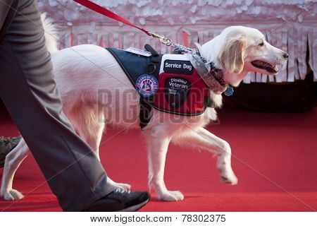 NEW YORK - NOV 11, 2014: A disabled veteran service dog walks on the red carpet in the 2014 America's Parade held on Veterans Day in New York City on November 11, 2014.