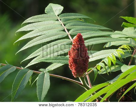 Sumac Flower On Tree