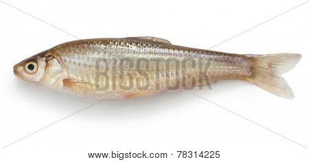 honmoroko, japanese willow shiner(female), luxury freshwater fish
