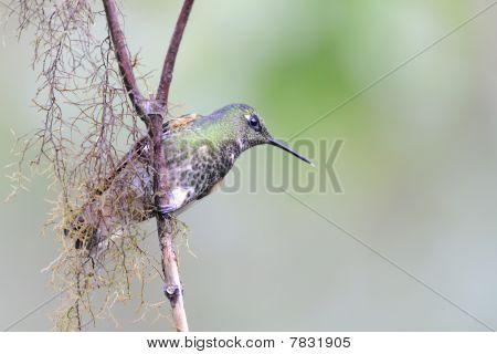 Kolibri auf einem Zweig sitzend