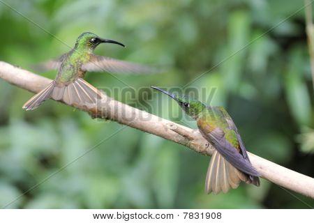 Bekämpfung der Kolibris