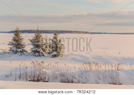 Picea glauca or white spruce trees along the frozen waterfront in rural Prince Edward Island, Canada.