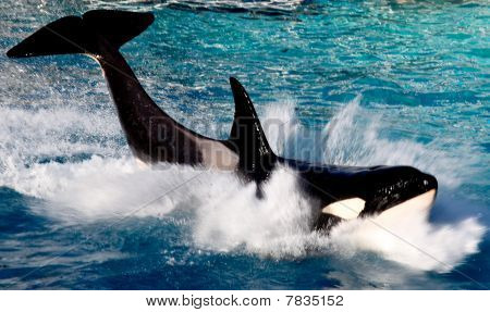 Killer whale portrait