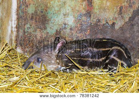 Newborn Lowland Tapir (tapirus Terrestris)