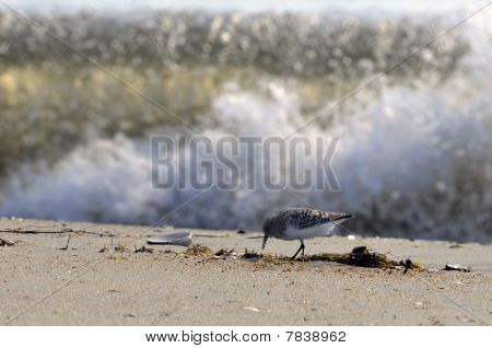 Sandpiper Tsunami