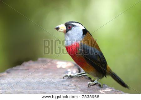 Tukan-Bartvogel Semnornis Ramphastinus