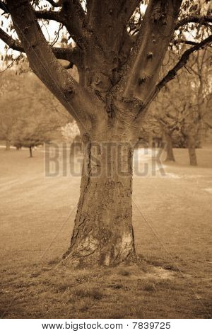 Tree In A Park In Sepia