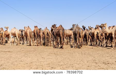 Herd Of Indian Camels, Camelus Dromedarius,