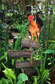 A bantam is standing on the wood board in a tropical garden. poster