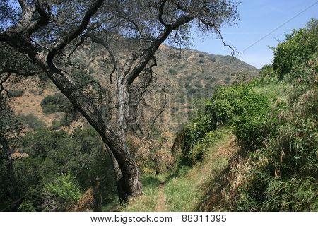 Dalton Canyon Oak